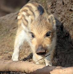 Wild boar Apenheul BB2A9080 (j.a.kok) Tags: zwijn everzwijn wildzwijn boar wildboar babyboar babypig babyzwijn big piglet bergendal apenheul