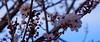 Plum Tree 20160214 (caligula1995) Tags: 2016 flowers plumtree sunset