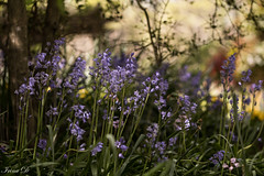Charm of the woods (Irina1010) Tags: bluebells flowers blue spring woods bokeh nature canon coth5 ngc npc