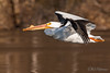20180428-_DSC4379ext-2.jpg (GrandView Virtual, LLC - Bill Pohlmann) Tags: stillwatermn spring stcroixriver border nature bird americanwhitepelican stcroixboomsite kayaking wildlife minnesota