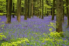 IMG_7839.jpg (ChodHound) Tags: ashridgeestate bluebells