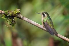 Speckled Hummingbird / Colibri jaspeado (Adelomyia melanogenys) (guiacalles) Tags: adelomyiamelanogenys speckledhummingbird colibrijaspeado bird fundoaltonieva carloscalle