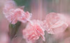 Spring Ballerinas (Charles Opper) Tags: canon georgia intentionalcameramovement spring color dianthus dreamy drops floral flowers light macro motionblur multipleexposure nature pastel raindrops soft midway unitedstates