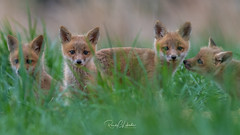 Red Fox - Vulpes vulpes | 2018 - 8 (RGL_Photography) Tags: carnivora fox foxkits gardenstate jerseyshore kits monmouthcounty mothernature newjersey nikonafs600mmf4gedvr nikond500 redfox us unitedstates vulpesvulpes wildkingdom wildlife wildlifephotography