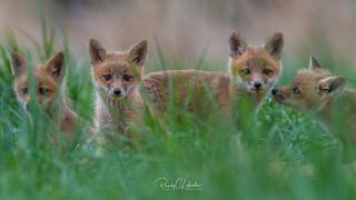 Red Fox - Vulpes vulpes | 2018 - 8
