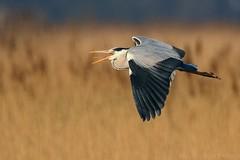 Grey Heron in flight 104807 (wildlifetog) Tags: grey heron isleofwight inflight blackmore britishisles britain bird birds british brading mbiow martin marsh uk wild wildlife wings wader canon england european eos7dmkii nature flying flight