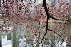 Where Winter Meets Spring (Anne Marie Clarke) Tags: blossoms spring tree thepond centralpark water reflection city nyc flowers landscapes 7dwf