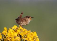 Wren (Woodpecker G :)) Tags: wren st aidens gorse singing