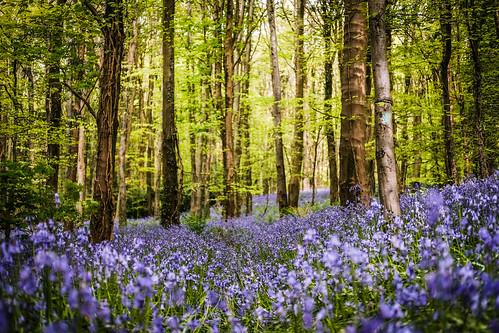 Bluebell forest ireland