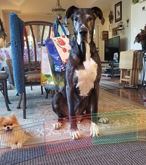 19.52.2018 Barriers (kmmorgan1977) Tags: 52weeksfordogs kkzsapachevegasrose greatdane barriers gate fence 2018 52wfd 52wfd18 dog