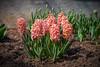 Hyacinth (A Great Capture) Tags: hyacinthus hyacinth edwardsgardens torontobotanicalgarden tbg spring plants garden flowers
