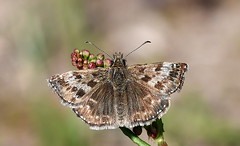 Dingy Skipper (Erynnis tages) (festoon1) Tags: butterfly skipper dingyskipper erynnistages oldmoor