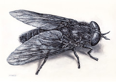 FLY_02_2018_mckie (Marks Meadow) Tags: fly housefly green horsefly illustration linedrawing blackwhite animals insects insect drawing insectdrawing insectillustration fineart art markmckie penink cricket ecology entomology bug flyinginsect mckie