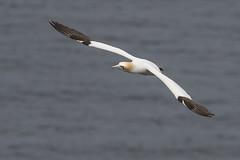 Gannet (Bill Richmond) Tags: gannet morusbassanus northern sulidae largeseabirds troupehead scotland nikond500 nikon500f4