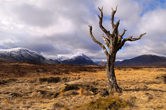 Dead Tree in Glencoe Scotland