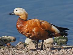 Ruddy Shelduck.....Attenborough Nature Reserve (Scuba`Steve`) Tags: