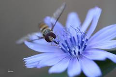 IMG_9234.Syrphe ( UNIXetvous ) Tags: syrphe fleur flower macro bokeh fleurbleue blue blueflower canoneos500d