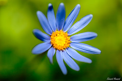 Beautiful Blue (edzwa) Tags: sydney newsouthwales australia au flower flowers bokeh bokehlicious closeup macroflower macro canon100mmf28lmacro canon6dmarkii