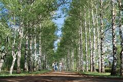 Birch alley (Nikita Terenin) Tags: park birch garden