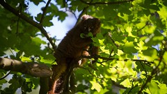 Red bellied lemur (claudiacridge) Tags: yorkshire zoo new climb trees tree food foraging animal redbellied lemur