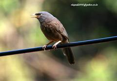 IMG_1932 Jungle babbler (Turdoides striatus) (vlupadya) Tags: greatnature animal ave fauna indianbirds jungle babbler turdoides kundapura karnataka