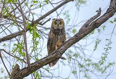 Long eared Owl (Khanh B. Tran) Tags: