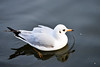 BLACK HEADED GULL (GA High Quality Photography) Tags: animal nature beauty beautiful love happy cute summer art fun amazing stunning photography wildlife new popular domesticanimal
