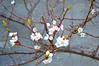 blossoms & buds (ekelly80) Tags: norway april2018 spring møreogromsdal valldal linge farmhouse airbnb evening light goldenhour farm orchard sun blossoms buds flowers pink cherryblossoms tree branches lookdown beautiful
