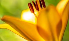 Lily (dayonkaede) Tags: lily nature flower yellow orange pollen pistil stamen nikon d750 tamron sp 90mm f28 di macro vc usd f017n