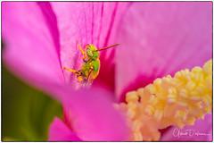 Bees (gilbertdorleansphotography) Tags: fleurs montréal abeille canada canon closeup flora flowers garden hibuscus insecte jardin macro macrophotography nature photo photographe photographie photography photos fleur