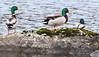 Happy days for males (Arnt Kvinnesland) Tags: mallard ducks lake freshwater nature wildlife outdoor stokkand vår april kystlynghei ferskvann røyningsvatnet snørteland karmøy norway