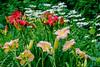 Sylvie's flower garden (jkowalski2) Tags: artistic closeup day fineart flowers imagetype macro nature outdoor photospecs seasons stockcategories summer time vegetation gardenplants gatineau qc canada ca