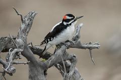 Hairy Woodpecker (Markp33) Tags: hairy woodpecker yellowstone