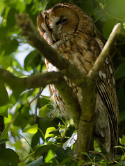 CHOUETTE HULOTTE 6 (yannls) Tags: owls chouettehulotte bretagne finistere wildlife nature birds wildlifeshot