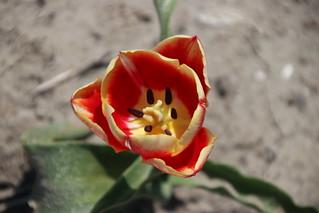 Tulip named