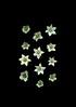 58905.01 Capsicum annuum (horticultural art) Tags: horticulturalart capsicumannuum capsicum pepper flowers flower twelve 12