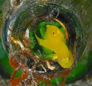 Lemon Gobies in a bottle
