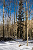 bare aspen (Tomás Harrison Fotos) Tags: tesuquecreektrail santafenationalforest hiking afsdxzoomnikkor1755mmf28gifed nikon d7100 aspenvista landscape apen roadtrip day availablelight spruce santafe nm snow austin tx usa