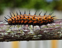Inching Along (ACEZandEIGHTZ) Tags: nikon d3200 nature caterpillar orange black striped spiny gulf fritillary agraulis vanillae wood branch macro closeup coth alittlebeauty coth5 sunrays5