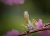 Pretty in Pink (Kathy Macpherson Baca) Tags: animal animals world insect mantis mandid invertebrate praying prey wildlife macro spring flower green stalker planet trees bug preserve