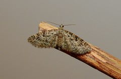 Oak-tree Pug Moth (Eupithecia dodoneata) (Nick Dobbs) Tags: oaktree pug moth eupithecia dodoneata insect nocturnal dorset geometridae larentiinae