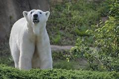 portrait pretty (ucumari photography) Tags: ucumariphotography northcarolina nc zoo may 2018 polarbear ursusmaritimus oso bear animal mammal north carolina osopolar ourspolaire oursblanc eisbär ísbjörn orsopolare полярныймедведь anana dsc7503 specanimal