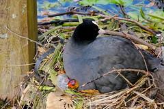 Nesting eurasian coot with chick (jamescastle) Tags: avian bird chordate gruiformes rallidae delft netherlands urbanwildlife animal wildlife zuidholland