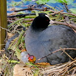 Nesting eurasian coot with chick thumbnail
