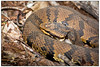 Water Moccasin DSC_7823 (blindhogmike) Tags: snake reptile beidler forest harleville south carolina sc moccasin cotton mouth cottonmouth viper