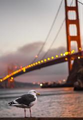 Golden Gate Watchkeeper (++ Martin ++) Tags: canon bokehlicious golden gate bridge seagull california sunset bokeh bird city lights san francisco frisco usa sea night westcoast ef 50mm f18 is ii