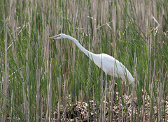 Great Egret (Laura Erickson) Tags: metzgermarsh pelecaniformes birds ardeidae ohio greategret places species ardeaalba