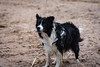 Seadog (rwibring) Tags: bordercollie border collie sea sand dog beach spring stockholn sweden nikon d7200 sigma 24105