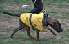 Get Your Raincoat On (Scott 97006) Tags: dog raincoat canine animal protection paraphernalia