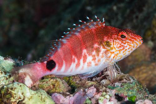 Mascarenes Redbarred Hawkfish - Cirrhitops mascarenensis
